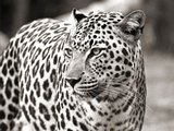 Portrait of leopard, South Africa
