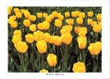 Field of Yellow Tulips, 2000
